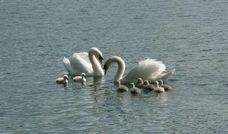 Schwanenfamilie - schwimmen, Schwan, Wasser, Schwäne, Wasservogel, Höckerschwan, Reflexion, glitzern, Schnabel, weiß, Jungschwan, Küken
