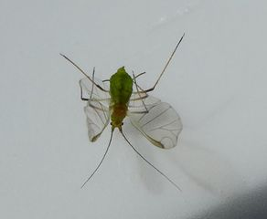 Blattlaus - Blattlaus, Pflanzensauger, Schädling, Insekt
