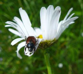 Junikäfer #1 - Käfer, Gartenlaubkäfer, Blatthornkäfer, tagaktiv, Junikäfer