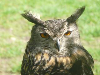 Uhu - Uhu, Eule, nachtaktiv, Greifvogel, Nachtjagd, Auge, Raubvogel, Vogel, Schnabel