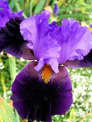Schwertlilie #1 - Schwertlilie, Iris, Blüte, Blume, Natur, Pflanze, mehrjährig, zwittrig, Blütenblätter, blau, Schwertliliengewächs, Garten, Knolle, Heraldik, violett