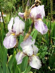 Schwertlilie #7 - Schwertlilie, Iris, Blüte, Blume, Natur, Pflanze, mehrjährig, zwittrig, Blütenblätter, Schwertliliengewächs, Garten, Knolle, Heraldik, lila, weiß