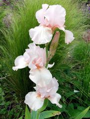 Schwertlilie #8 - Schwertlilie, Iris, Blüte, Blume, Natur, Pflanze, mehrjährig, zwittrig, Blütenblätter, Schwertliliengewächs, Garten, Knolle, Heraldik, rosa, weiß