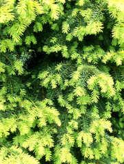 Eibe - Eibe, Eibengewächs, Konifere, immergrün, Taxus, Zweig, Zweige, grün, gelb, Trieb, frisch, neu, Nadeln