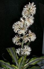 Yucca - Blüte - Palmlilien, Yuccas, Pflanzengattung, Familie der Spargelgewächse, Blüte, Zimmerpflanze