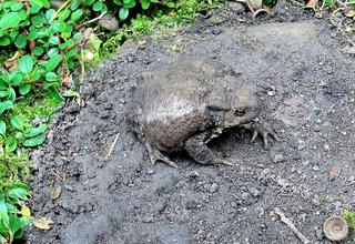 Kröte #2 - Kröte, Erdkröte, Bufo-Bufo, Froschlurch, Lurch, Amphibie, Weibchen, schwarz, braun, Warzen, giftig, wechselwarm, geschützt