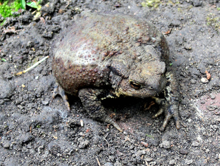 Kröte #1  - Kröte, Erdkröte, Bufo-Bufo, Froschlurch, Lurch, Amphibie, Weibchen, schwarz, braun, Warzen, giftig, wechselwarm, geschützt