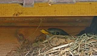 brütende Amsel - Amsel, Nest, brüten, Eier, Frühling, Vogel, junge Vögel, Vogeleltern