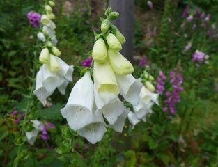 Fingerhut - Fingerhut, Blüte, Gartenpflanze, giftig, Wegerichgewächs, digitalis