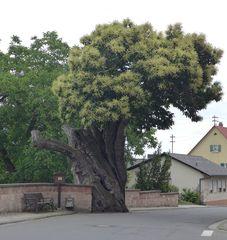 Esskastanienbaum #1 - Edelkastanie, Esskastanie, Maroni, Marone, Blatt, Blätter, Kastanie, Blüte, castanea sativa