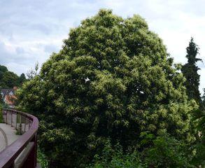 Esskastanienbaum #2 - Edelkastanie, Esskastanie, Maroni, Marone, Blatt, Blätter, Kastanie, castanea sativa