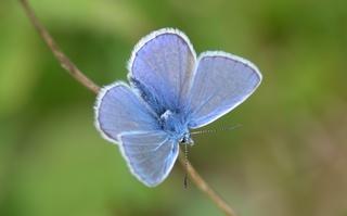 Schmetterling Hauhechelbläuling - Schmetterling, Falter, Tagfalter, Bläuling, Polyommatus icarus, Gemeiner Bläuling blau, Symmetrie