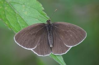 Schmetterling Schornsteinfeger #1 - Falter, Tagfalter, Schornsteinfeger, brauner Waldvogel, braun, Schmetterling, Symmetrie, Aphantopus hyperantus, Nymphalidae, Augenfalter
