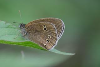 Schmetterling Schornsteinfeger #2 - Falter, Tagfalter, Schornsteinfeger, brauner Waldvogel, braun, Schmetterling, Symmetrie, Aphantopus hyperantus, Nymphalidae, Augenfalter