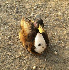 Stockente#1 - Ente, Erpel, Kopf, bunt, Schnabel, Vogel