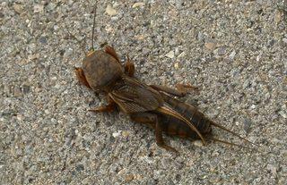Maulwurfsgrille - Gryllotalpa gryllotalpa, Insekten, Insekt, Geradflügler, Maulwurfsgrille, Werre