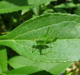 Grashüpfer - Heupferd, Heuschrecke, Grashüpfer, grün, springen, Insekt, Insekten, Fühler, fliegen, zirpen, wechselwarm, nachtaktiv, punktierte Zartschrecke, Leptophyes punctatissima, Laubheuschrecke