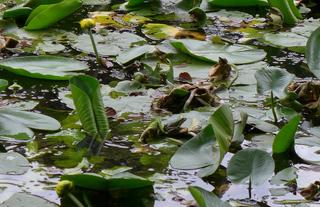 Froschkönig #1 - Frosch, Froschkönig, Waldteich, Teich, Teichrose