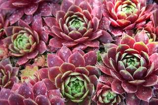 Dachwurz - Pflanzen, Dachwurz, rot, Hauswurz, Echte Hauswurz, Gewöhnliche Hauswurz, Donnerwurz, Alpen-Hauswurz, Dickblattgewächs