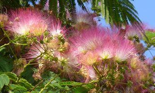 Mimosenblüten - Mimosenbaum, Albizia julibrissin, Seidenbaum, Mimosoideae