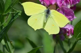 Schmetterling Zitronenfalter - Schmetterling, Falter, Tagfalter, Edelfalter, Symmetrie, Gonepteryx rhamni, The Brimstone, Weißling, gelb, Punkte
