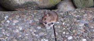 Waldmaus #1 - Maus, Haselmaus, Nagetier, nachtaktiv, Bilche