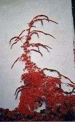 Hauseingang im Herbst - Herbst, rot, Laub, Weinranken, Ranke, ranken, Laubfärbung, Kletterpflanze, Blätterfall, Hauswand
