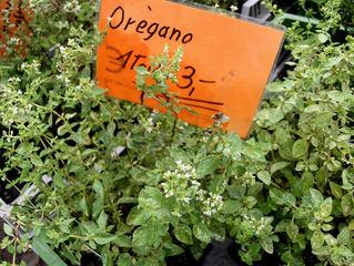 Gewürze #7 Oregano - Oregano, Dorst, Dost, Echter Dost, Gemeiner Dost, Wohlgemut, Wilder Majoran, Gewürz, Gewürzpflanze, Heilpflanze, italienisch, griechisch