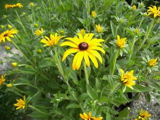 Strauchmargerite - Strauchmargerite, Goldmargerite, Korbblütler, Gartenpflanze, Zierpflanze, Strauch, Sommer, gelb, Kübelpflanze, Blüten