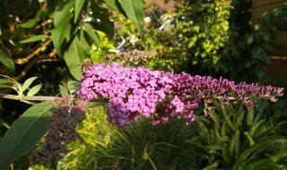 Sommerflieder - Schmetterlingsflieder, Sommerflieder, Schmetterlingsstrauch, Fliederspeer, Blütenstand, Rispe, Zierpflanze, Blüte