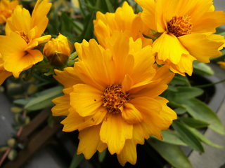 Mädchenauge#1 - Mädchenauge, Staudenpflanze, Korbblütler, Schöngesicht, Zierpflanze, gelb, Blüten