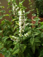 Minze - Minze, Blüte, Lippenblütengewächs, Gewürzpflanze, Tee