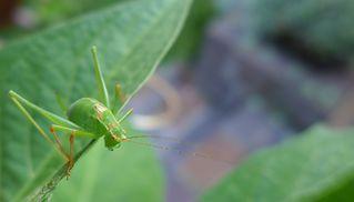 Heuschrecke - Heupferd, Heuschrecke, Grashüpfer, grün, springen, Insekt, Insekten, Fühler, fliegen, zirpen, wechselwarm, nachtaktiv, punktierte Zartschrecke, Leptophyes punctatissima, Laubheuschrecke