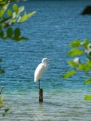 Silberreiher  #2 - Vogel, Schreitvögel, Reiher, Silberreiher, Tagreiher, Casmerodius albus