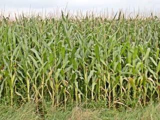 Maisfeld - Landwirtschaft, Mais, Maisfeld, Maispflanze, Maispflanzen, Feldrand, Biosprit, Kukuruz, Stängel, Stiel, Kolben, Futter, Tierfutter, Nahrungsmittel, Landwirtschaft, Anbau