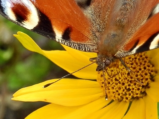 Tagpfauenauge -Detailaufnahme - Falter, Schmetterling, Tagfalter, Edelfalter, Aglais io, Inachis io, Nymphalis io, Peacock Butterfly, saugen, Nektar, Rüssel, Imagines, Kopf, Fühler, Auge, Facettenauge, Sinnesorgan