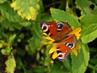 Tagpfauenauge - Schmetterling - Schmetterling, Tagfalter, Edelfalter, Aglais io, Inachis io, Nymphalis io, Peacock Butterfly, Symmetrie
