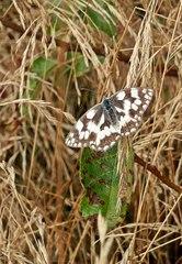 Schmetterling - Schachbrett - Falter, Tagfalter, Schmetterlin, Edelfalter, Insekt