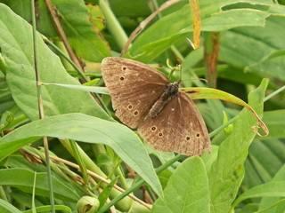 Edelfalter - Brauner Waldvogel - Schmetterling, Falter, braun, Waldvogel, Insekt, Edelfalter, symmetrisch