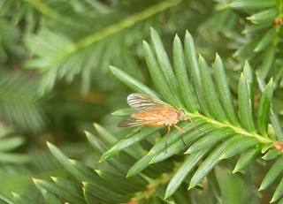 Goldgelbe Schnepfenfliege - Fliege, Insekt, Flügel, Zweiflügler, durchsichtig, braun