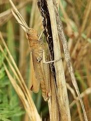 Feldgrashüpfer - Grashüpfer, Heuschrecke, Heuschrecken, Insekten, Gras, Sommer, Kurzfühlerschrecke, anpassen, Anpassung, verstecken, Versteck, Rätsel, Suchbild