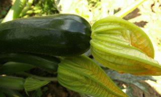 Zucchiniblüte mit Fruchtstand - Zucchini, Gartenpflanze, Pflanze, Kürbisgewächs, Kürbis, Gemüsekürbis, Gurkenkürbis, Gartenkürbis, Zucchiniblüte