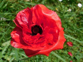 Mohnblüte von oben - Mohn, Klatschmohn, Blüte, Kontrast, rot, grün, Blütenblätter, Staubgefäße, Kapsel, Mitte, zentriert, radiärsymmetrisch