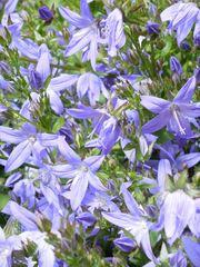 Glockenblume blau - Blüte, Glockenblume, blau, Stern, Blütenblätter
