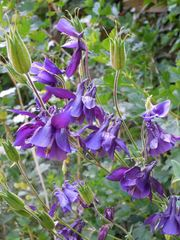 Akelei - Akelei, Hahnenfußgewächs, Blüte, blau, Samen, Samenkapsel