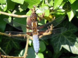Libelle - Plattbauch männlich - Libelle, fliegen, Flügel, Hautflügel, Flügelpaar, Männchen, Libellula depressa male, Großlibelle, blau, Jäger, Ansitz