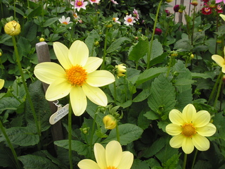 Gelbe Dahlie - Dahlie, gelbe Blüte, Dahliengarten, Blumen, Blüte, Blumengarten, Sommer, blühen, gelb, Sommerblume, Korbblütengewächs, Korbblüte, Knolle, Knollengewächs, Blume