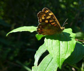 Schmetterling - Schmetterling, Distelfalter, Fühler, Rüssel, Insekt, Vanessa cardui