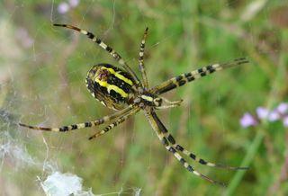 Wespenspinne - Spinne, Spinnentiere, Zebraspinne, Wespenspinne, Seidenbandspinne, Argiope bruennichi