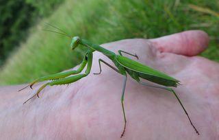 Gottesanbeterin - Mantis religiosa, Gottesanbeterin, Fangschrecke, Insekten, Tracheentiere, Fluginsekt, Fangbeine